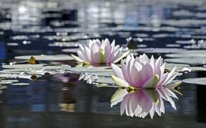 Картинка листья, вода, цветы, природа, водяная лилия
