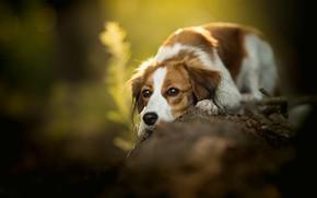 Картинка грусть, природа, собака