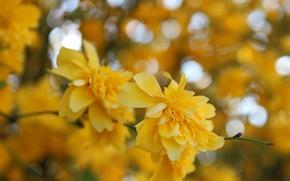 Картинка цветок, макро, цветы, желтый, куст, весна, yellow, flowers, macro, боке, bokeh, spring, boke, керрия, керия