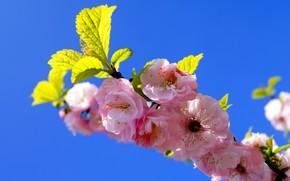 Картинка небо, ветка, весна, сад, сакура, цветение