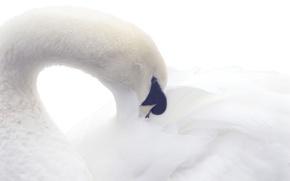 Картинка природа, птица, лебедь