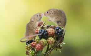 Картинка ягоды, мышки, ежевика, крохи