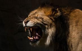 Обои язык, дикая кошка, лев, оскал, клыки, морда, пасть, хищник, грива