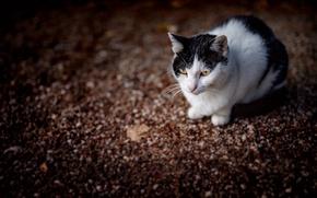 Картинка кошка, кот, боке