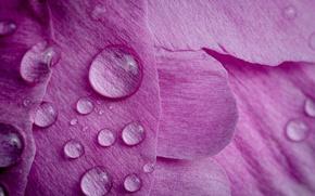 Обои цветок, капли, макро, лепестки, пион