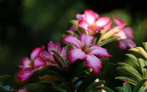 Картинка цветы, цветение, адениум, пустынная роза