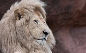 Картинка морда, хищник, грива, профиль, дикая кошка, белый лев