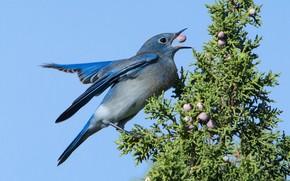 Картинка птица, клюв, самка, голубая сиалия