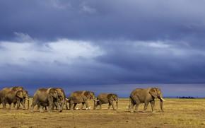 Картинка слоны, стадо, на водопой