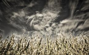 Картинка небо, природа, кукуруза