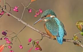 Обои птица, ветка, зимородок, бруслина