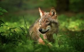 Картинка трава, взгляд, природа, животное, волк, хищник