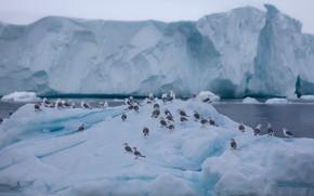Картинка лед, зима, море, снег, птицы, чайки, лёд, стая, ледник, айсберг, льды, льдины, север, фауна, Гренландия