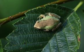 Картинка природа, лист, лягушка