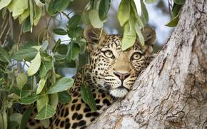 Картинка морда, листья, дерево, леопард, зверь