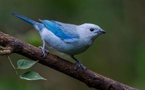 Картинка природа, птица, ветка, голубая танагра