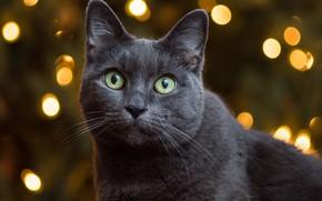 Картинка кошка, портрет, мордочка, взгляд