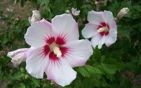 Картинка цветы, пара, белые, гибискусы, Meduzanol ©