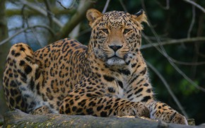 Обои взгляд, морда, кошки, ветки, зеленый, фон, портрет, лапы, леопард, лежит, дикие кошки, дикая природа