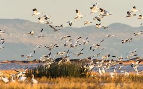 Картинка горы, птицы, озеро, Канада, гуси