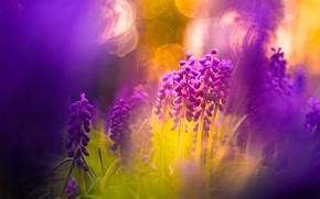 Картинка свет, цветы, природа, фон, сиреневый, обработка, весна, размытость, боке, мускари, композиция, гиацинты, ярко-розовый, мышиный гиацинт, …