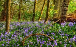 Картинка лес, деревья, цветы, HDR, весна, колокольчики, Spring, Forests