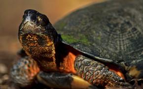 Картинка черепаха, смотрит вверх, by Nushaa