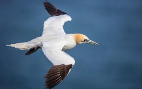 Картинка полет, природа, птица, олуша