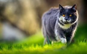 Картинка трава, кот, прогулка, котэ, боке