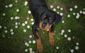 Картинка взгляд, цветы, собака, Ротвейлер, щенок, мордашка, маргаритки