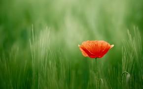 Картинка лето, природа, тюльпан