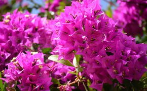 Картинка лето, макро, цветы, природа, фото, красота, растения, европа, португалия, флора, бугенвилия