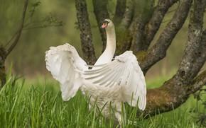 Картинка дерево, птица, крылья, лебедь, шея