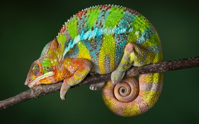 Картинка reptile, Chameleon, color changing