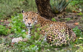 Картинка кошка, природа, животное, отдых, ягуар