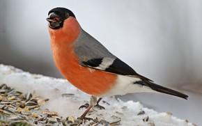 Картинка фон, птица, снегирь