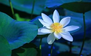 Картинка белый, цветок, листья, цветы, синий, пруд, фон, голубой, стебли, лепестки, лотос, водоем
