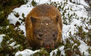 Картинка снег, wombat, вомбат
