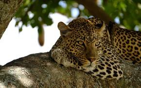 Обои морда, отдых, хищник, леопард, лежит, дикая кошка, на дереве, наблюдение