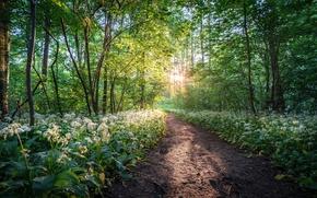 Картинка лес, деревья, цветы, парк, Германия, тропинка, Germany, Саксония, черемша, Saxony, Leipzig, Лейпциг, Wildpark Leipzig, Connewitz