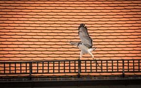Картинка крыша, птица, крылья, хищник, сокол