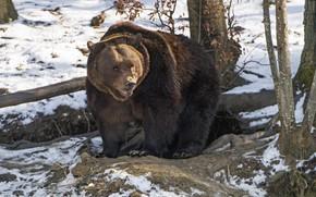 Картинка хищник, медведь, большой, бурый
