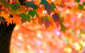 Обои клён, дерево, боке, осень, листья