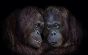 Обои обезьяны, фон, природа