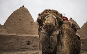 Картинка морда, фон, верблюд