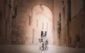 Картинка шетландская овчарка, шелти, бордер-колли, две собаки, улица, боке