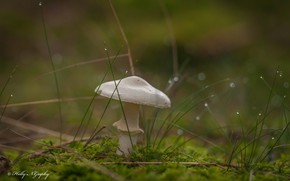 Картинка трава, капли, макро, гриб, мох