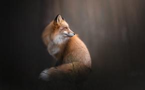 Обои фон, лиса, рыжая, боке