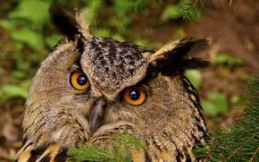 Обои птицы, сова, фото, филин, финляндия, фауна, глаза