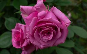 Обои розы, лепестки, макро, бутон